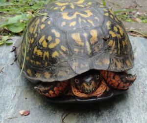 Beautiful turtle visitor