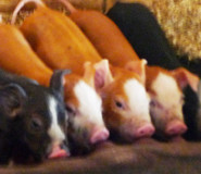 Katywil visits New Piglets at WeCanFarm in Heath