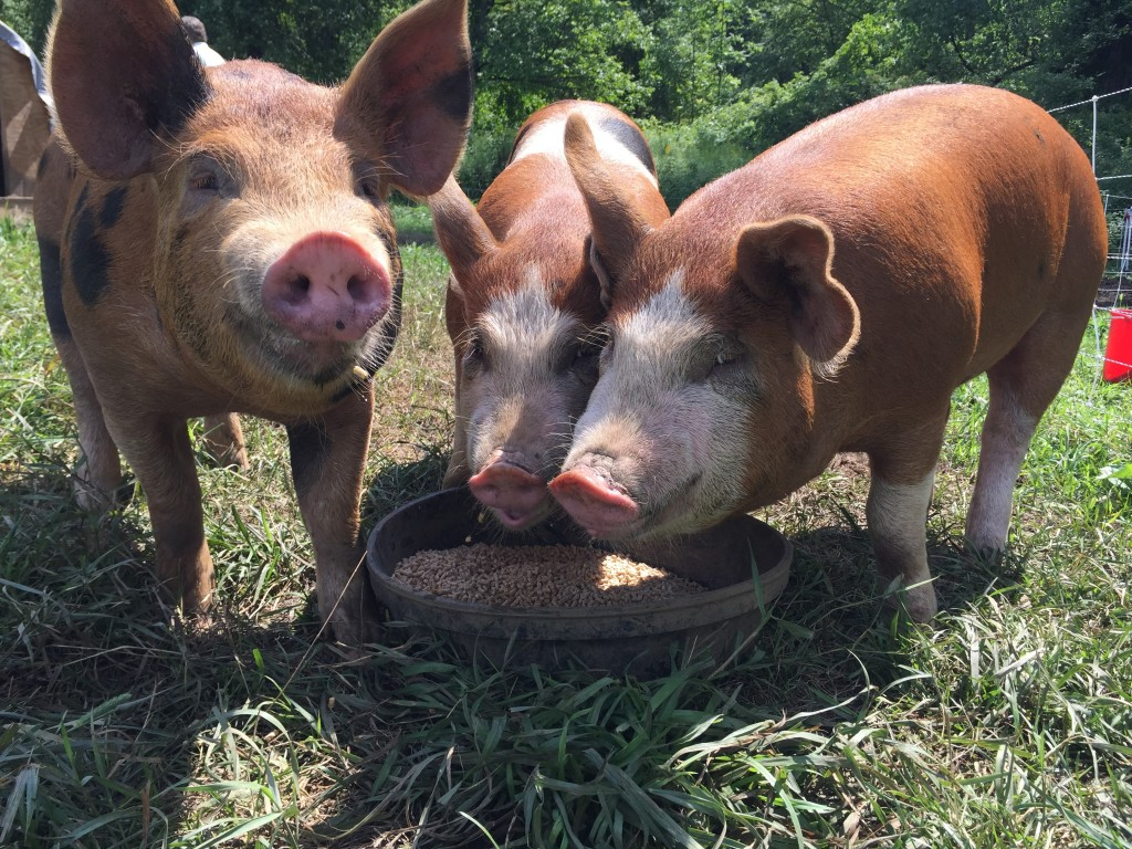 Raising happy pigs