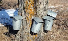 Free Intro to Maple Sugaring