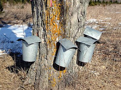 Library offering free workshop on maple sugaring