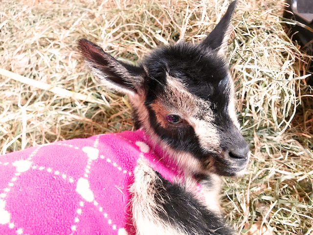 Luna, newborn doeling, born on the full moon at Stowe Farm Community