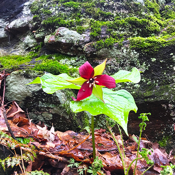 Many trilliums were found on Wild Flower walk by Alan Emond, amazing knowledge about tracking and all things wild.