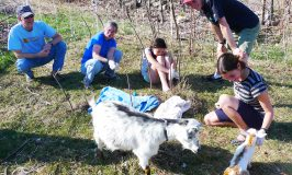 Stowe Farm baby goat, Cosmo, is born