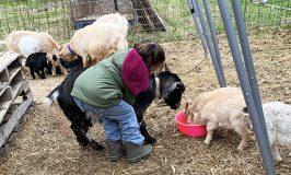 Loving Clover, Stowe Farm Community's beloved mama goat