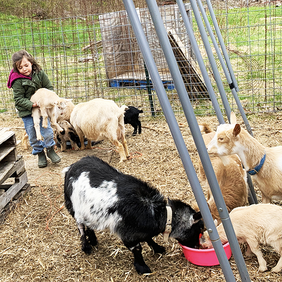 June rearranging the goats as Clover chows down. We miss Clover!
