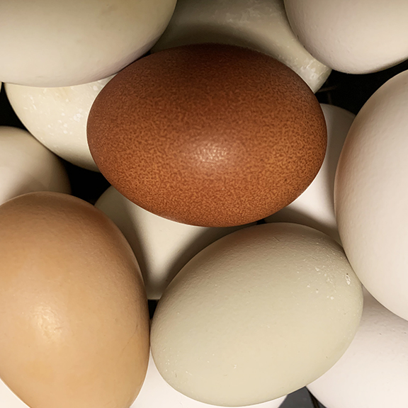 Stowe Farm wellsummer chicken is laying beautiful deep brown speckled eggs