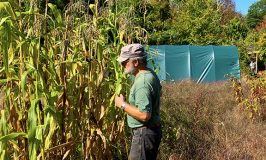 Haynes growing corn at Stowe Farm Community