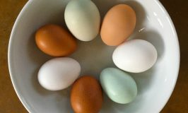 7 beautiful Stowe Farm Community eggs today