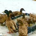 Peter's ducks take a winter swim at Stowe Farm Community