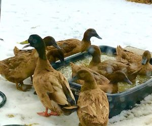 Peter's ducks take a winter swim at Stowe Farm Community