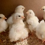 newly hatched Stowe Farm leghorn chicks