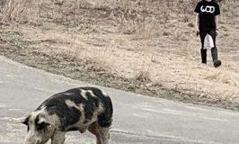 Neighbor pig visits Stowe Farm