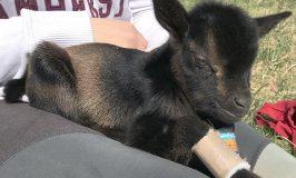 new born goat at Stowe Farm