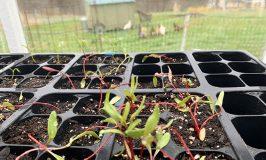 seedlings in Stowe Farm greenhouse