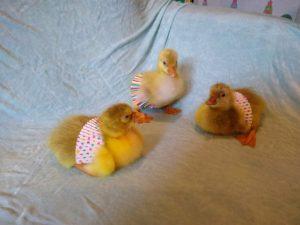 Goslings with tutus