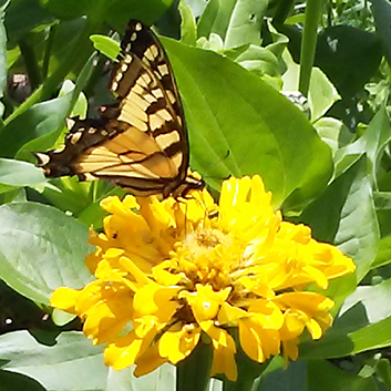 Harley's butterfly garden