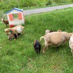 Stowe Farm goats