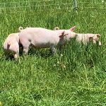 new pigletts at Stowe Farm Community