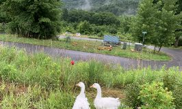 Geese, chickens, goats at Stowe Farm Community