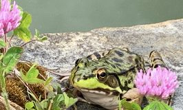 Leopard frog and other frogs at Stowe Farm Community pond