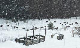 41 turkeys at Stowe Farm
