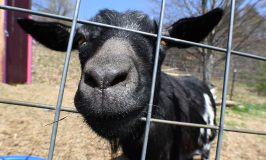 Nothing like a goat smile