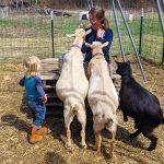 Stowe Farm goats begging
